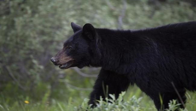 Black bear suspected of killing llama