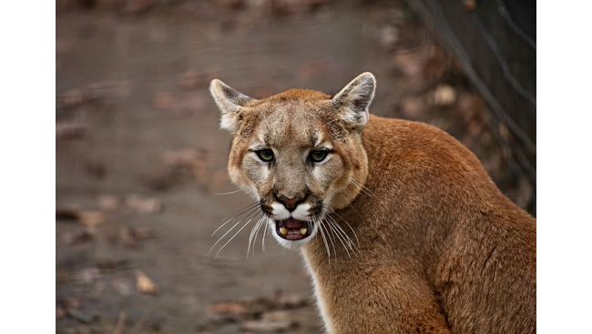 Boy, 10, escapes serious injury in cougar attack