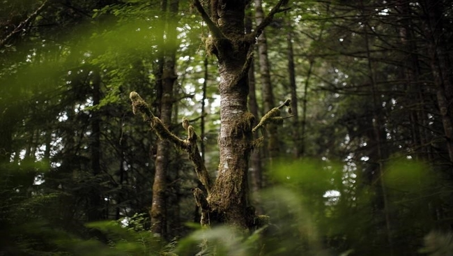 Old-growth forest at centre of dispute in B.C.