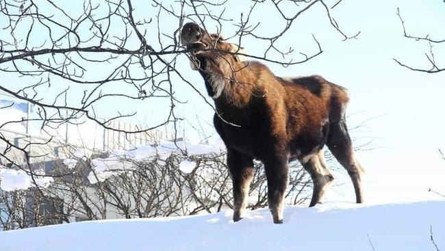 Moose saved from ice of remote B.C. lake