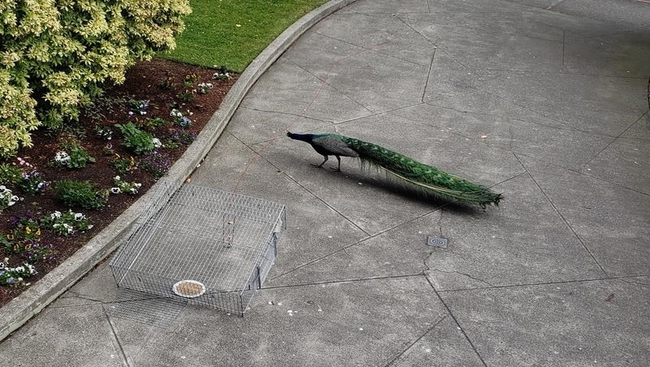 B.C. peacock removed from apartment entrance