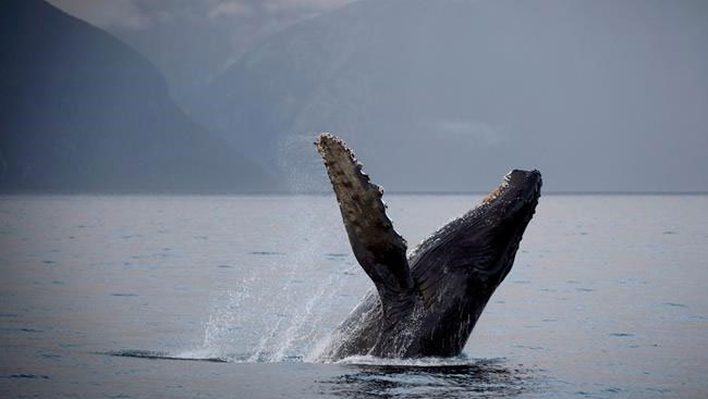 Conservationists File Legal Challenge To Trans Mountain Reapproval Over Whales