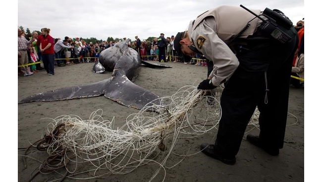 Rescue groups race to save entangled whales