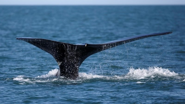 North Atlantic right whales nearing extinction
