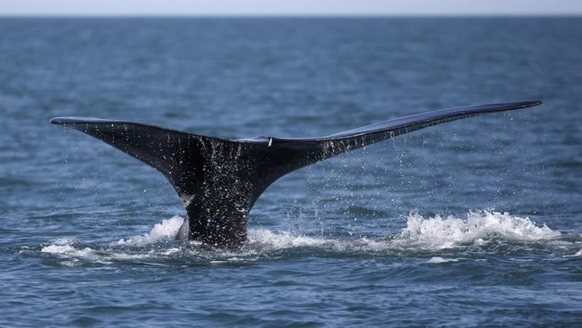 Ships not complying with whale rules: study