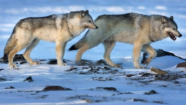 Wolf culls do not help caribou recovery: study