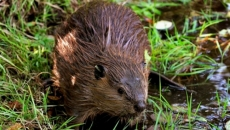 Beavers be gone, but not until spring
