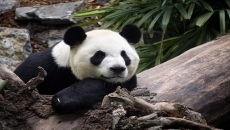 Calgary Zoo hopes pandas will be China-bound soon