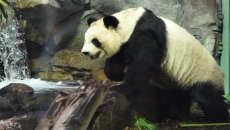 Food and time running out for giant pandas