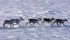 Canada, Alberta sign deal on caribou protection