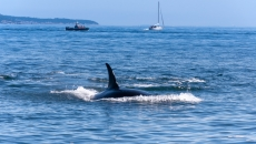 Orca sex ratio skewed say scientists