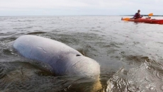 Belugas polluted with microplastics through prey