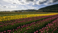 Abbotsford Tulip Festival going out of business and closing permanently